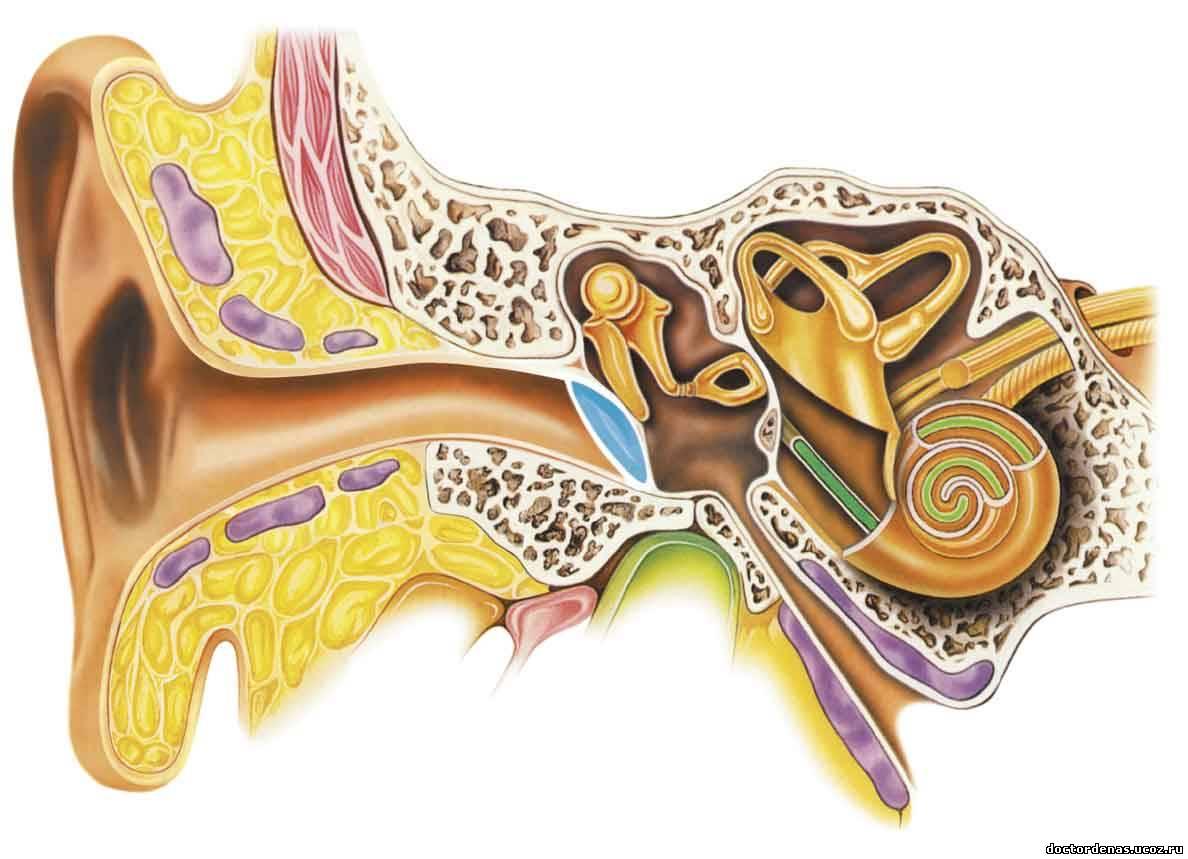 грудь в разрезе анатомия Женская грудь - строение молочной железы | Увеличение Груди.ру